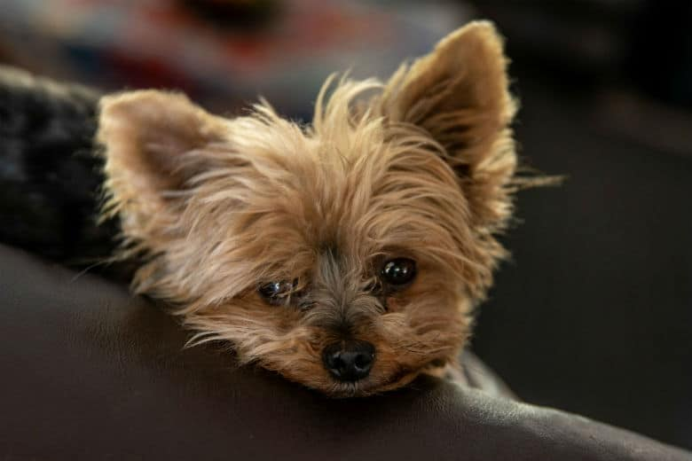 yorkie on couch