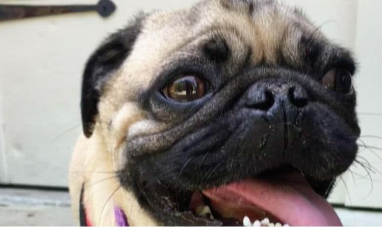 Pug Tests Positive for COVID-19, Believed to Be First US Dog to Get Virus
