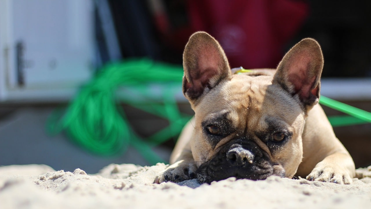 french bulldog in sun on sand