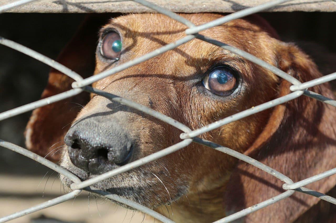 Coronavirus Slows Down Yulin Dog Meat Festival, Activists Hope Last Year for It