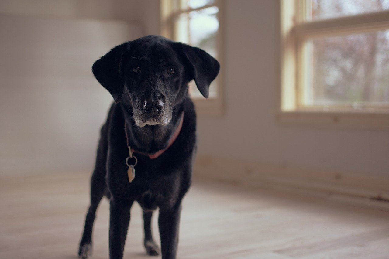 Black Senior Dog