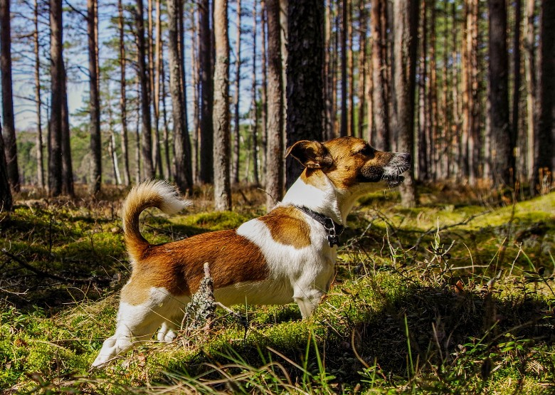 Jack Russell and dogs for outdoor adventures 1