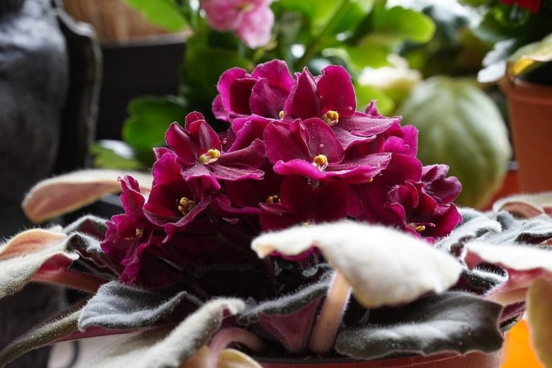 African Violets not poisonous to dogs