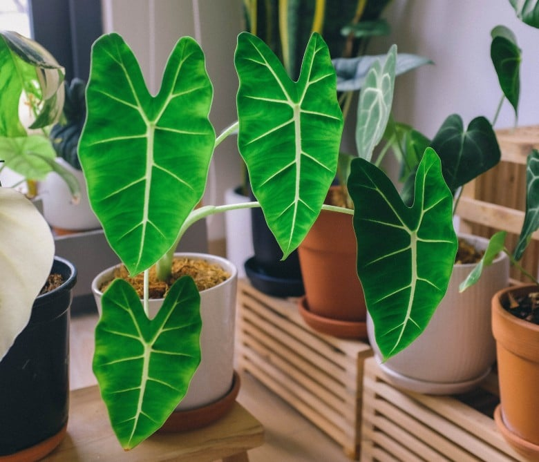 Alocasia poisonous toxic plants for dogs