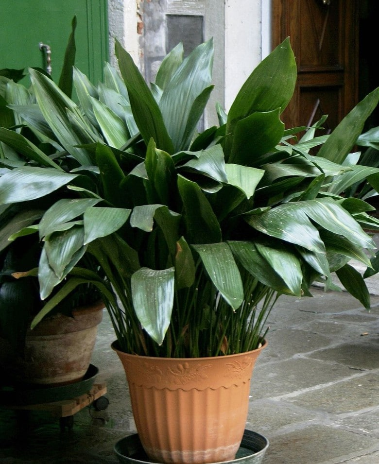 Cast Iron Plant safe dog plant (1)