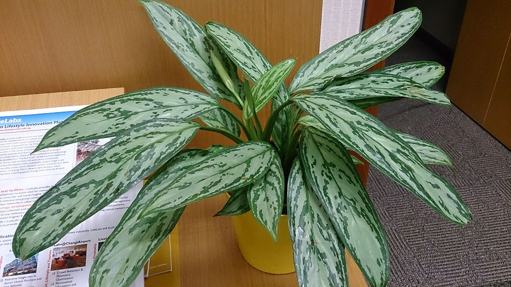 Chinese Evergreen not safe poisonous to dogs