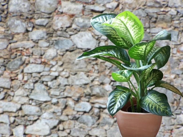 Dieffenbachia dog poisonous plants