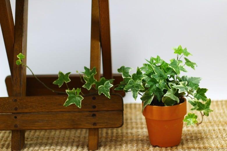 Ivy dog poisonous plants