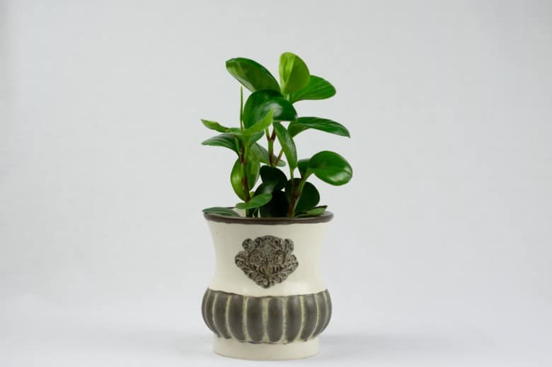 Peperomia Obtusifolia baby rubber plant dog safe plant