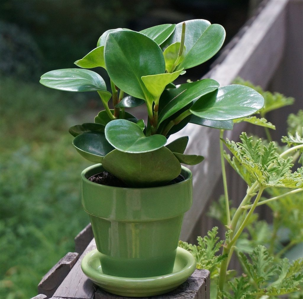 Peperomia plant safe for dogs