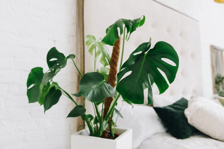 Philodendron plant toxic plant to dogs