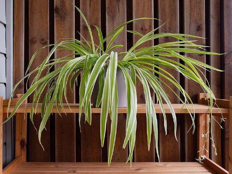 Spider Plant dog safe plant (1)