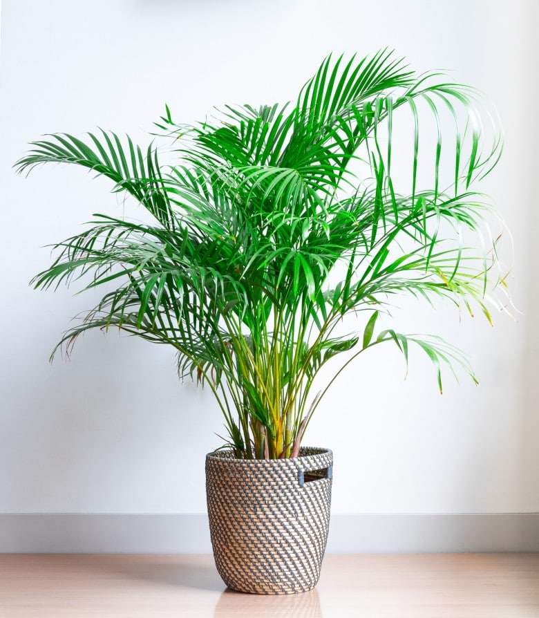areca palm dog-safe plants