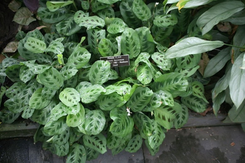 prayer plant poisonous to dogs