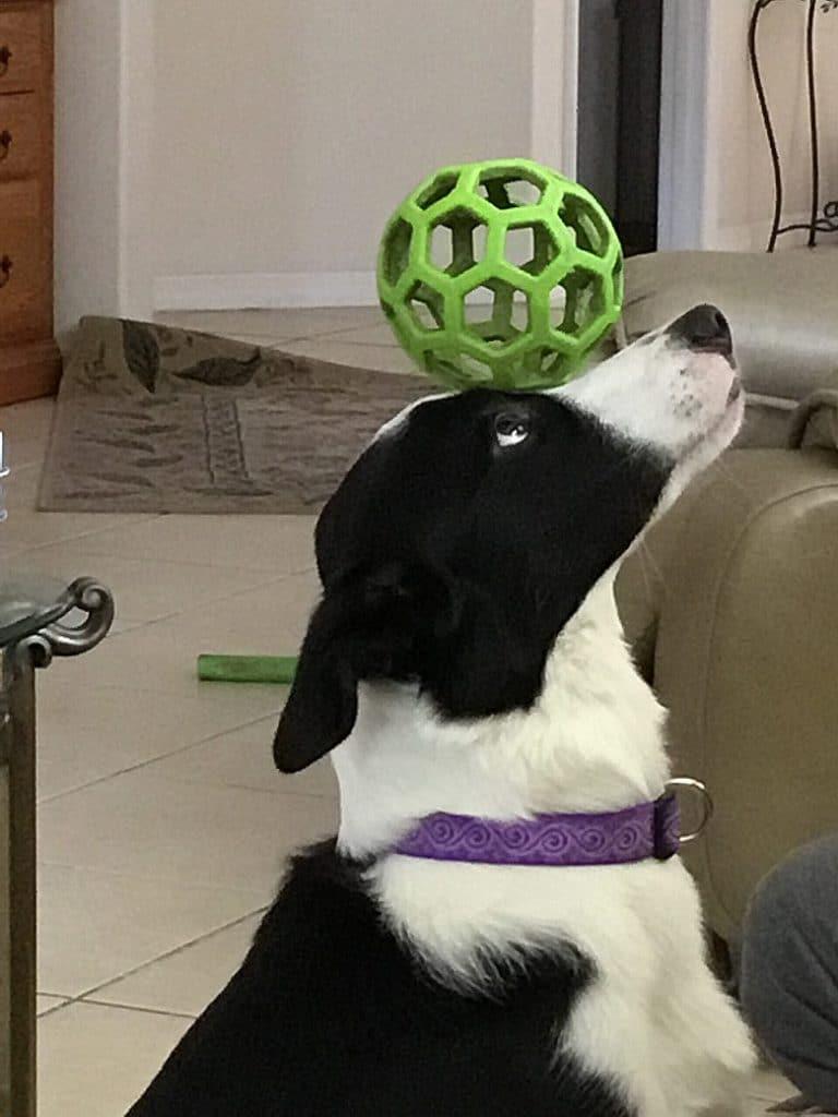 dog balancing ball on head