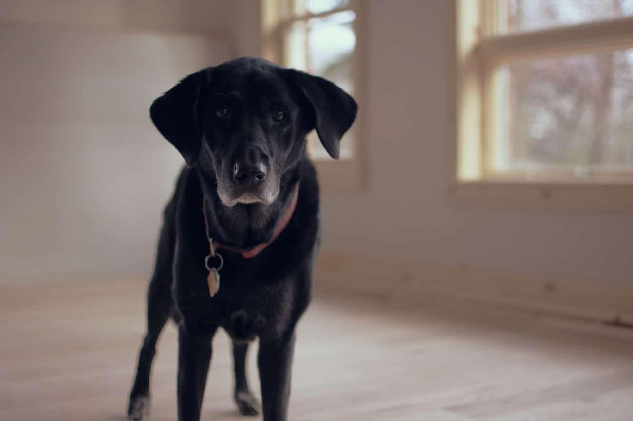 old dog hip dysplasia