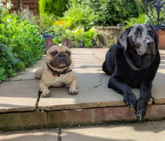 french bulldog and labrador