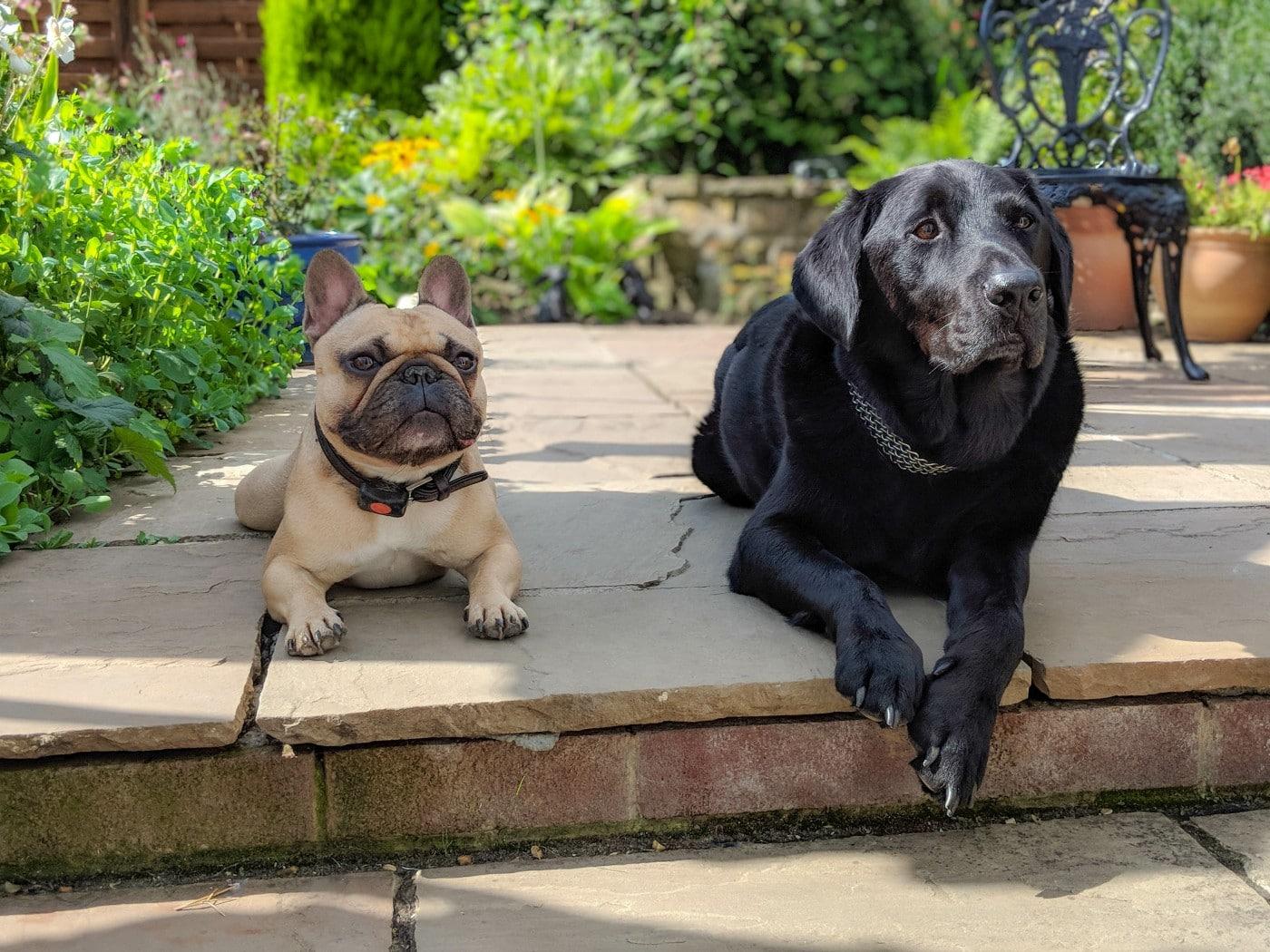 french bulldog and labrador