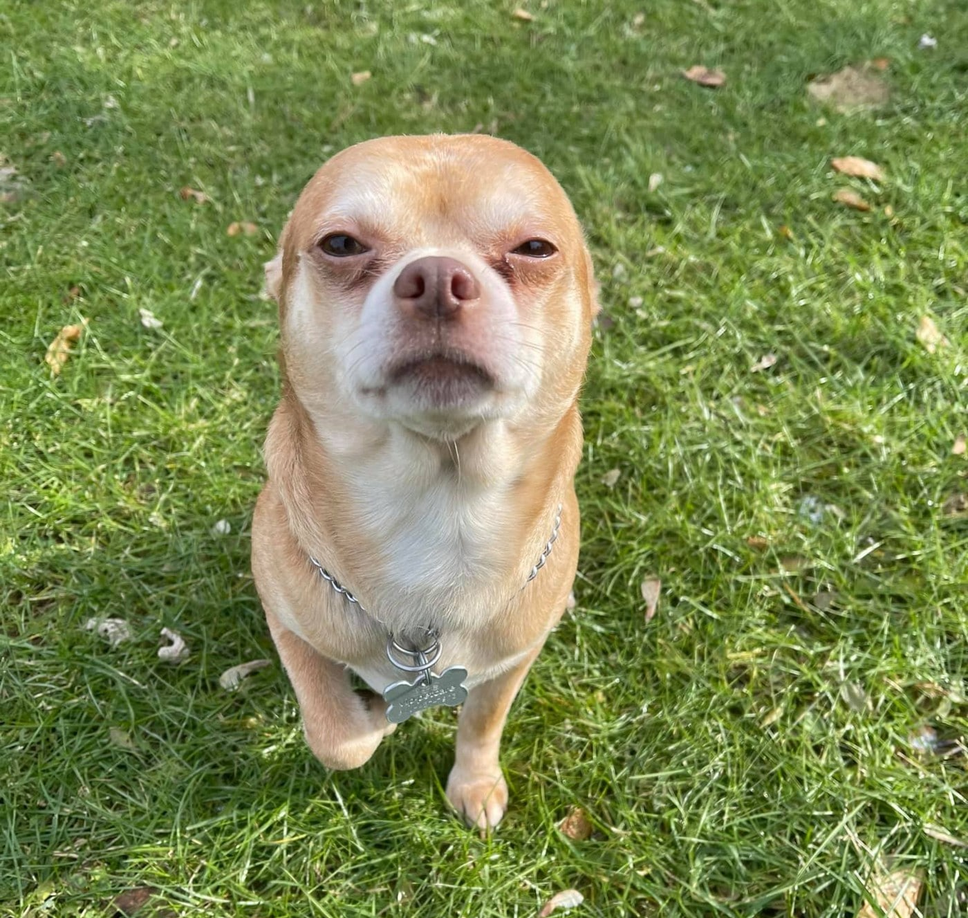 Brutally Honest Adoption Bio Goes Viral for 'Demonic Chihuahua Hellscape' Who Hates Everyone